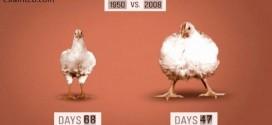 مرغ و دستکاری ژنتیکی