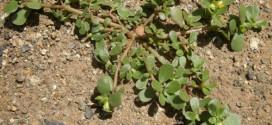 Portulaca_oleracea_plant