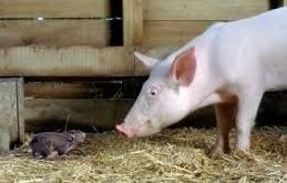 موش-خوک-پزشکی-غرب